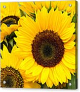 Bright Sunflower Blossoms Acrylic Print