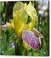 Bright Yellow Purple Iris Flower Irises Acrylic Print