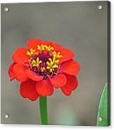 Bright Zinnia Acrylic Print