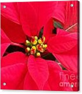 Brightest Red Poinsettia Acrylic Print