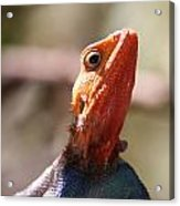 Brightly-colored Lizard Eyeing The Camera  Acrylic Print