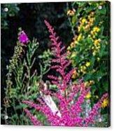Brilliant Astilbe In Markree Castle Gardens Acrylic Print