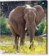 Brilliant Elephant Acrylic Print