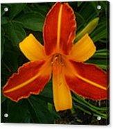 Brilliant Orange Lily Acrylic Print