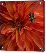 Brilliant Red Dahlia Acrylic Print