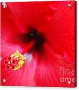 Brilliant Red Hibiscus Acrylic Print