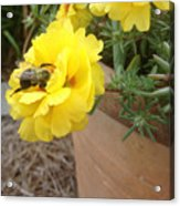 Brilliant Rose Flower With Buzzy Bee Acrylic Print