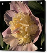 Brilliant Spring Sunshine - A Showy Pink Peony From My Garden Acrylic Print