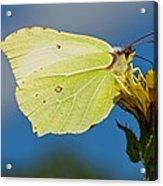 Brimstone Butterfly Acrylic Print