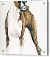Brindle Boxer Acrylic Print by Charlotte Yealey