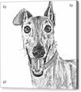 Brindle Greyhound Close Up Portrait Acrylic Print