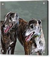 Brindle Greyhound Dogs Usa Acrylic Print