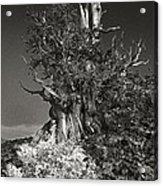 Bristlecone And Wildflowers In Black And White Acrylic Print