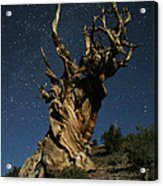 Bristlecone By Moonlight Acrylic Print by Karen Lindquist