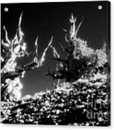 Bristlecone Twins In Infrared Acrylic Print