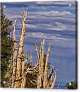 Bristlecone Warriors Acrylic Print