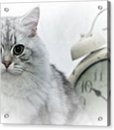 British Longhair Cat Time Goes By Acrylic Print by Melanie Viola