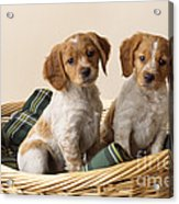 Brittany Dog Puppies In Basket Acrylic Print