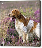 Brittany Dog, Standing In Heather, Side Acrylic Print