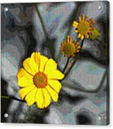 Brittle Bush Flowers In December Acrylic Print