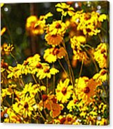 Brittle Bush In Bloom  Acrylic Print