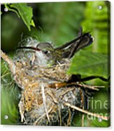 Broad-billed Hummingbird In Nest Acrylic Print