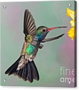 Broad-billed Hummingbird Acrylic Print by Jim Zipp