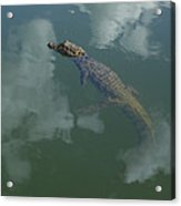 Broad-snouted Caiman Floating South Acrylic Print
