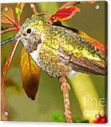 Broad Tailed Hummingbird Acrylic Print