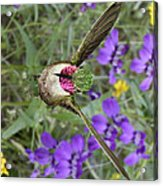 Broad-tailed Hummingbird - Phone Case Acrylic Print