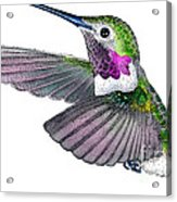 Broad-tailed Hummingbird Acrylic Print
