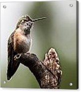 Broad-tailed Hummingbird Sit  Acrylic Print
