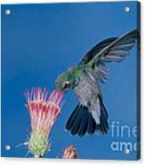 Broadbill Hummingbird Feeding At Flower Acrylic Print