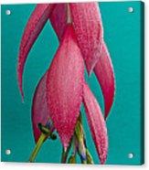 Bromelia Bilbergia Windii Acrylic Print by Heiko Koehrer-Wagner
