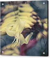 Bromeliaceae - Alcantarea Geniculata Acrylic Print