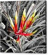 Bromeliad 1 Acrylic Print