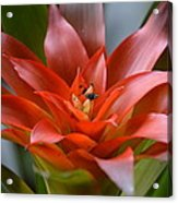 Bromeliad I Acrylic Print