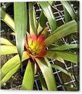Bromeliad In Barbados Acrylic Print