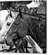 Bronc Buddies In Black And White Acrylic Print