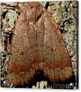 Bronze Moth Acrylic Print