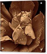 Bronze Ruffled Parrot Tulip Flower Acrylic Print