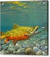 Brook Trout And Coachman Wet Fly Acrylic Print