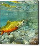 Brookie With Wet Fly Acrylic Print