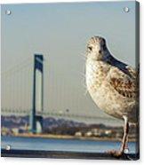 Brooklyn Seagull Acrylic Print
