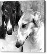Brother And Sister Borzoi  Acrylic Print by Maxine Bochnia
