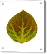 Brown And Green Aspen Leaf 4 Acrylic Print