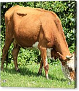 Brown And White Cow Grazing Acrylic Print
