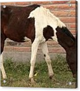 Brown And White Horse In Cotacachi Acrylic Print