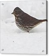 Brown And White Speckled Bird In The Snow Acrylic Print