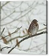 Brown And White Speckled Bird On Snowy Limb Acrylic Print